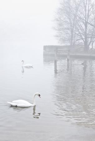 Pár labutí plavat na klidné povrchu mlhavé jezera nedaleko břehu. Dock s holé stromy ve vzdálenosti fade do těžké mlhy. Desaturated barvy, vertikální s kopií vesmíru.