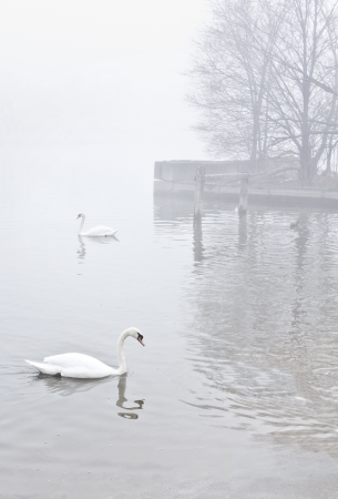 Pair of swans float on calm surface of misty lake near the shore. Dock with leafless trees in distance fade into the heavy fog. Desaturated colors, vertical with copy space.