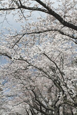 Grove of ornamental Japanese cherry trees covered in pink and white blossoms in early spring. Their black rough-textured bark contrasts with the delicate flowers. Vertical composition. photo