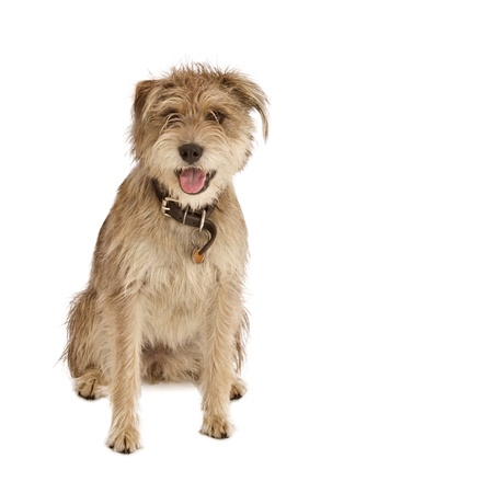 Cute shaggy mixed breed dog with a friendly expression sits facing camera  It has floppy ears, beige fur, and a dark leather collar with a dog tag  Isolated on white background, square with copy space  photo