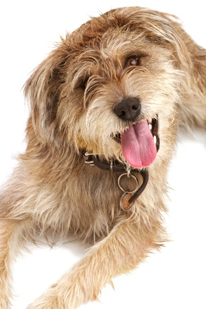 shaggy: Cute shaggy mixed breed dog with a friendly expression sits looking up at camera  It has floppy ears, beige fur, and a dark leather collar with a dog tag  Isolated on white background, vertical with copy space  Stock Photo