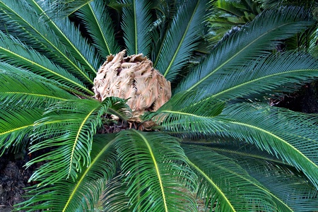 Japanese native sago palm rosette of stiff pinnate leaves Stock Photo - 14590669