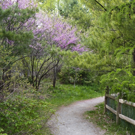 redbud: Beautiful spring woodland landscape with pink flowering redbud in full bloom along a gravel path