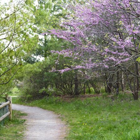 beautiful woodland: Beautiful spring woodland landscape with pink flowering redbud in full bloom along a gravel path