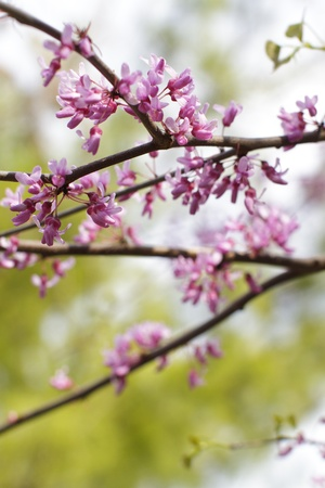 redbud tree: Showy pink flowers of redbud tree in full bloom in spring contrast with dark twigs