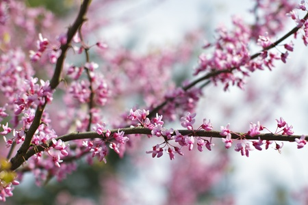 showy: Showy pink flowers of redbud tree in full bloom in spring contrast with dark twigs