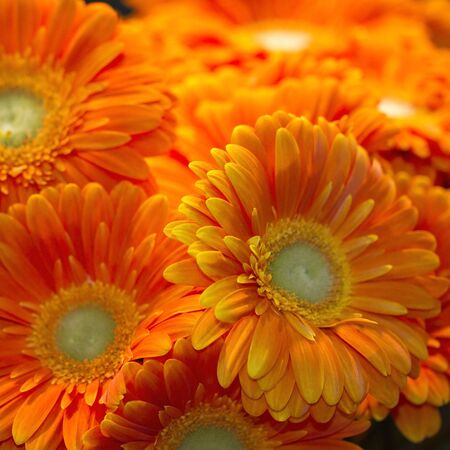 orange gerbera: Group of bright orange and gold African gerbera daisies clustered together with focus on foreground  Square format