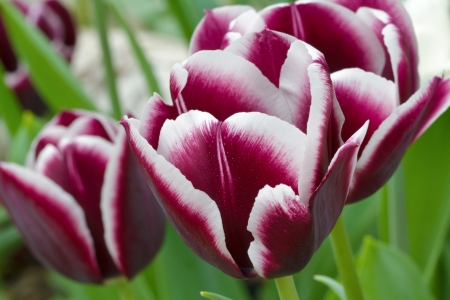 Group of magenta tulips with white rimmed curved petals growing on upright stems in a spring garden  Focus on foreground, horizontal with copy space