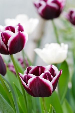 bulb tulip: Group of magenta tulips with white rimmed curved petals growing on upright stems in a spring garden  Focus on foreground, vertical with copy space