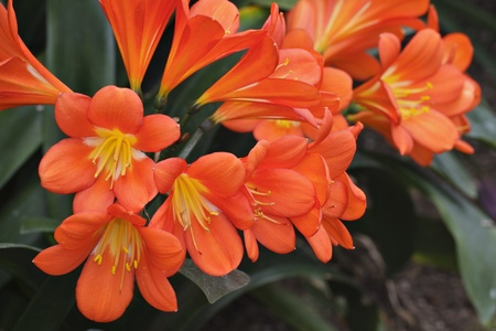 Bright orange Kafir lily flower cluster with background of  dark green strap-like leaves  Each trumpet-shaped blossom has long yellow stamens  Horizontal layout