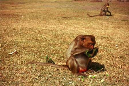 graine lotus: Macaque manger une graine de lotus