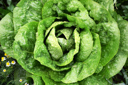 Lettuce with water droplets in garden