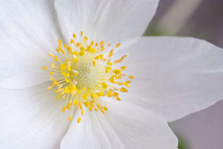 White flower with yellow middle close up stock photo picture and stock photo white flower with yellow middle close up mightylinksfo