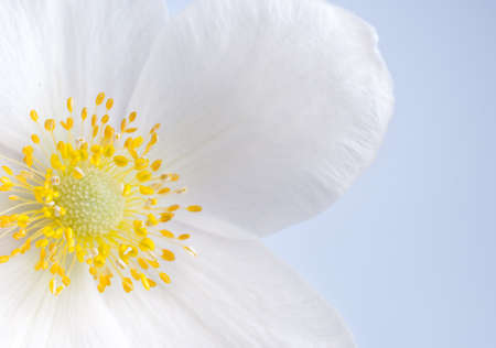 White flower with yellow middle, close-up Stock Photo - 14082237