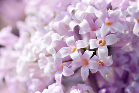 syringa: White lilac flowers, shallow depth of field