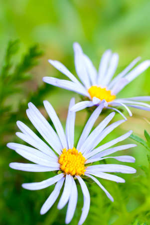 purple daisies in the field photo