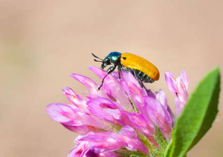Yellow beetle sitting on a clover flower photo