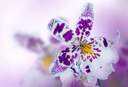 Orchid in the diffuse background of lilac photo
