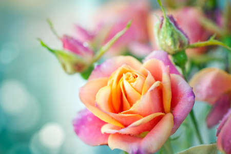 Beautiful pink roses on a soft background