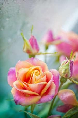 pétalas: Rosas bonitas em um fundo suave