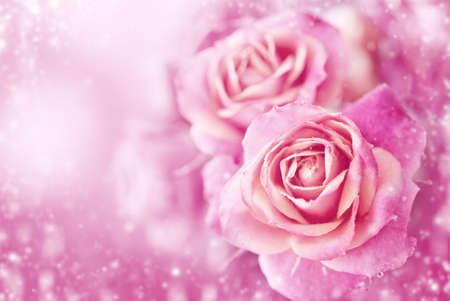 Beautiful  roses on a soft pink background photo