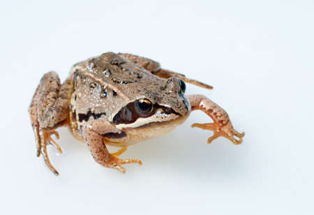 webbed: Brown frog on a white background
