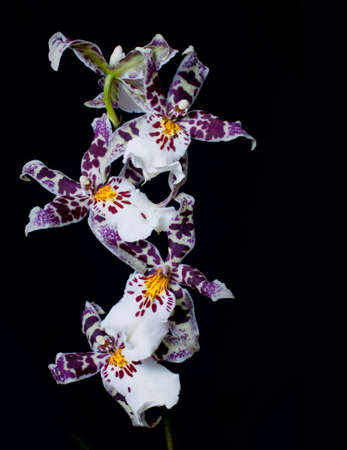 beautiful orchid on a black background photo
