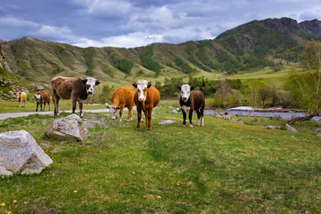hidef: The mountain river in summer, cows