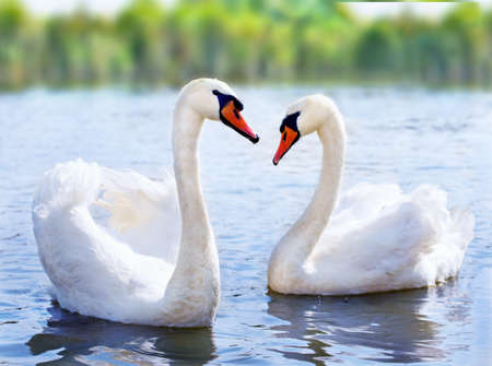swan pair: swans swimming on the water in nature