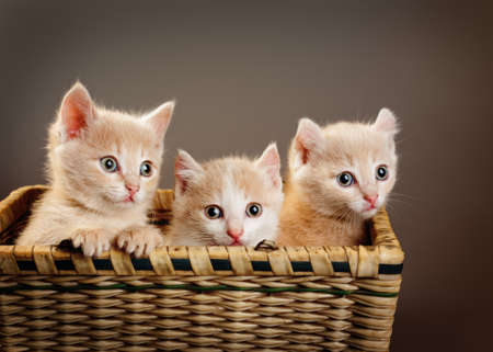 three red British kittens in basket  photo