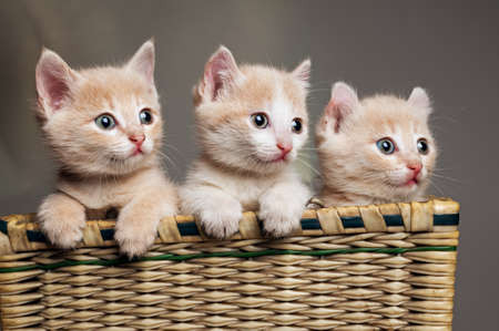 three red kittens in basket photo