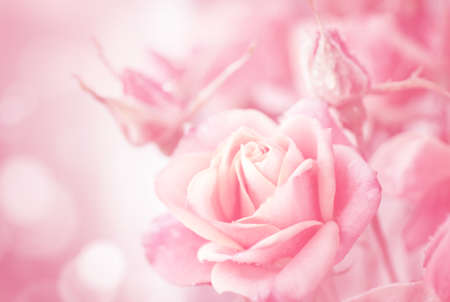 Beautiful pink roses on a soft background photo