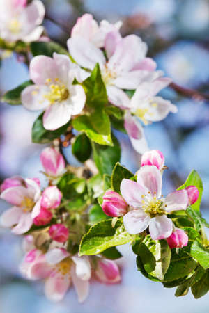 Apple blossom on blue sky background photo