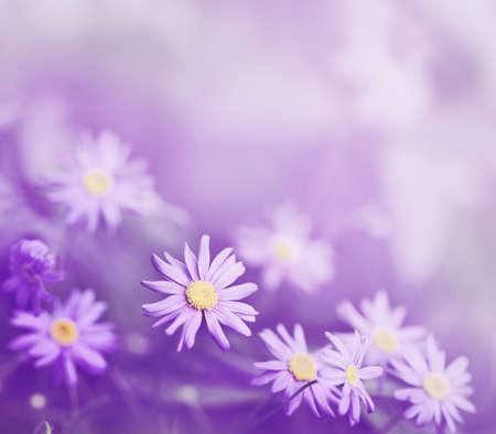 flor morada: margaritas de color p�rpura en la hierba
