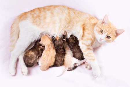 recien nacido: gato rojo con los gatitos reci�n nacidos