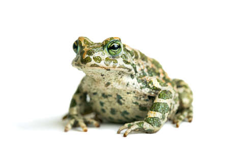 viridis: Big toad on a white background