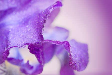 Purple iris flower macro on a white background