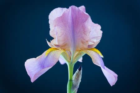 flor violeta: Iris flor en un fondo negro