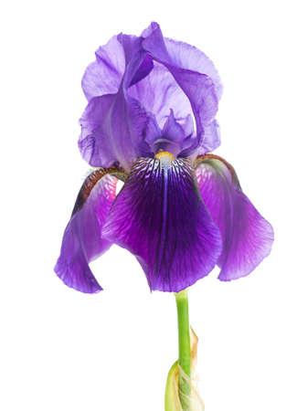 iris: iris flower macro on a white background
