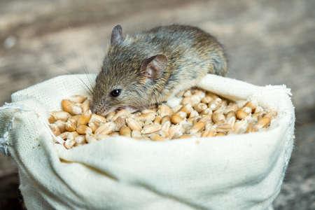 the mouse: El picar ratón grano de trigo fuera de la bolsa Foto de archivo