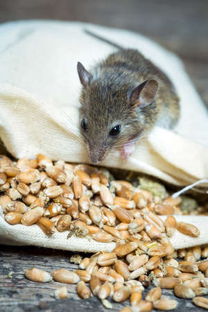 nibbles: The mouse nibbles grain of wheat out of the bag