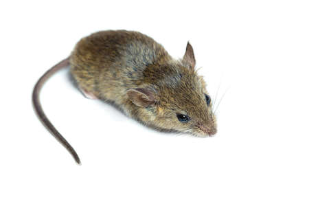 mouse: house mouse on a white background