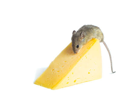 unhygienic: Mouse with a  cheese isolated on white Stock Photo