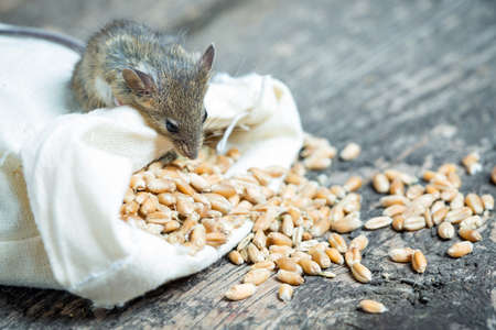 The mouse nibbles grain of wheat out of the bag Stock Photo - 43176267