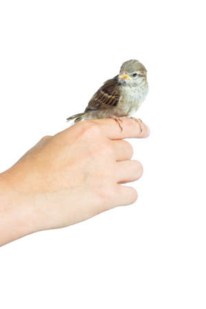 nestling: nestling sparrow in his hand on a white background