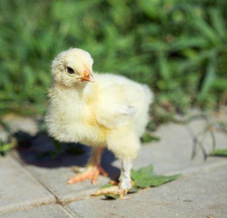 chicks: Little chicken in the grass