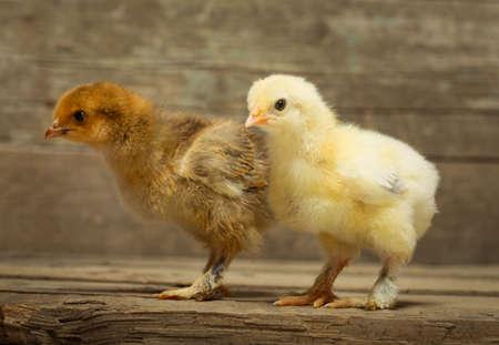 pollitos: Dos pequeños pollos en las tablas de madera
