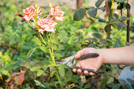 off cuts: Man cuts off the rose in the garden Stock Photo