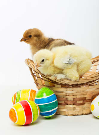 pollitos: Little chicks and Easter eggs on white background