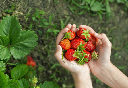 hands with fresh strawberries collected in the garden Stock Photo